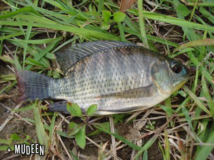 dinas perikanan jenis ikan ini cepat sekali berkembangb